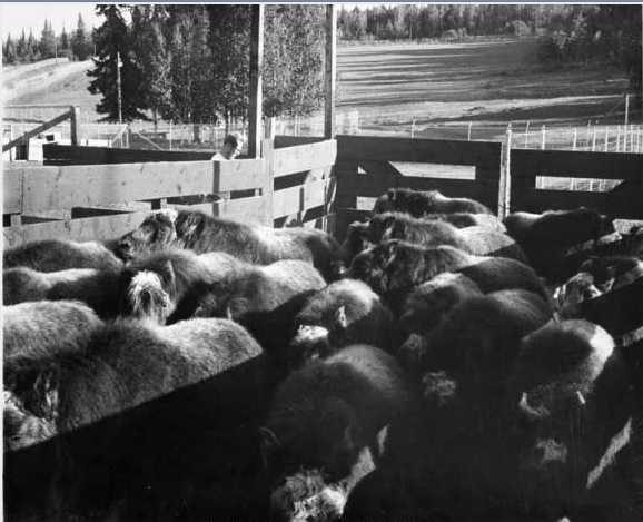 Corralled muskox on the Alaska farm, late 1960s. University of Alaska  Fairbanks collection,