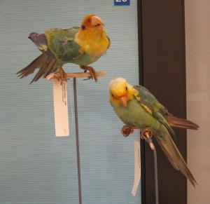 Carolina parakeets in Smithsonian exhibit