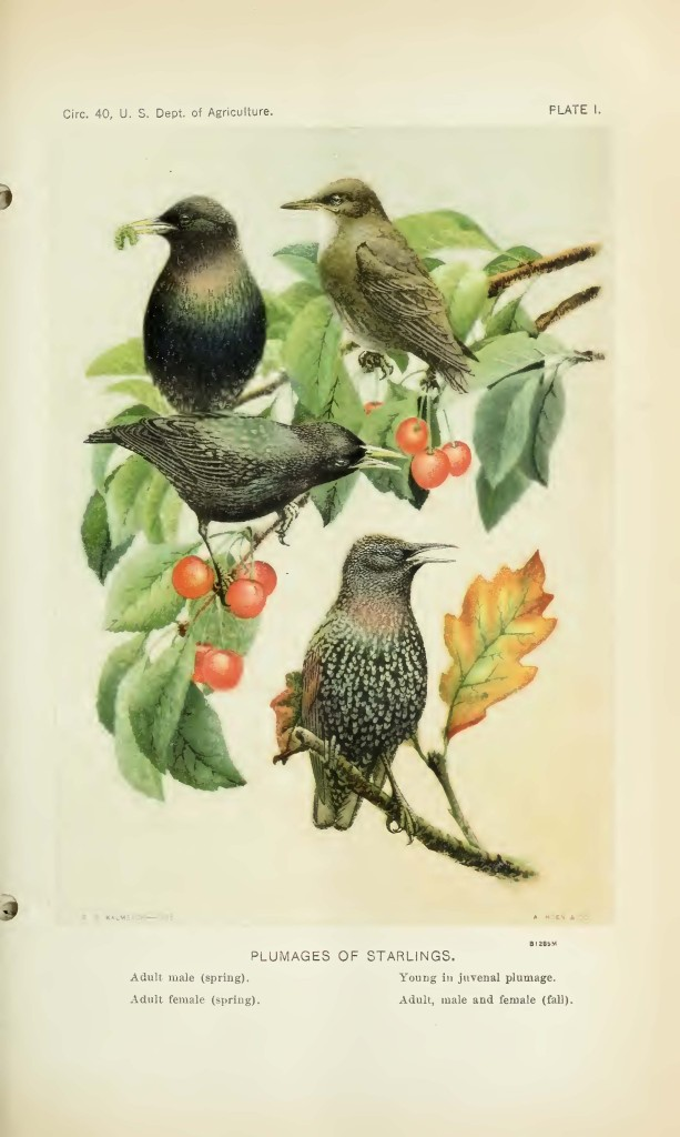 The starling in the US from May Thatcher Cooke, The spread of the European starling in North America (to 1928), US Department of Agriculture.