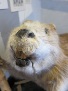 A stuffed beaver showing off his massive teeth at the Skogsmuseum in Lycksele, Sweden. Photo by D Jørgensen.