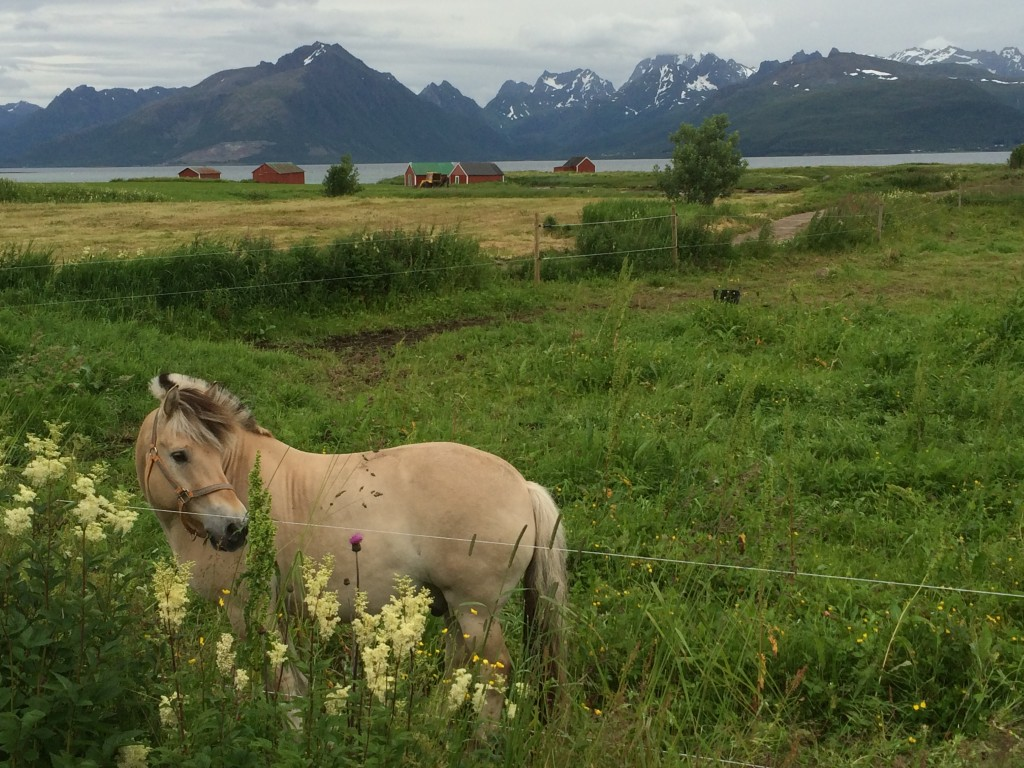 Fjord horse at a farm near Sortland, Norway. Photo by D Jørgensen.