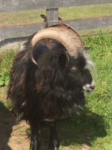 A Lapp goat at Mickelbo Gård, Sweden. Photo by D Jørgensen.