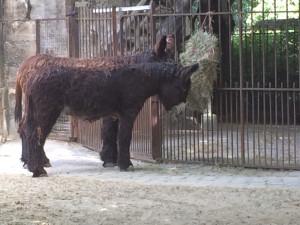 Poitou donkeys at the Ménagerie du Jardin des Plantes, Paris.