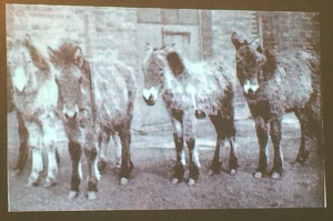 Image of some of the Przewalski horses in the early 1900s shown by Sandra Swart in a talk at ASEH 2015.