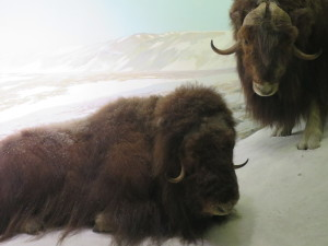 The muskox exhibit at American Museum of Natural History. Photo by D Jørgensen, Nov 2015.