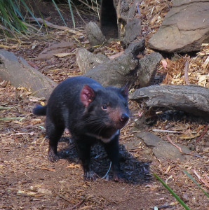 Tasmanian devil at the wildlife sanctuary
