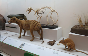 Case with thylacine at the Australian Museum. Photo by D Jørgensen, 5 February 2016.