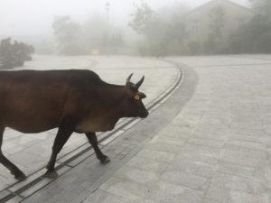 Cow crossing my path, Ngong Ping, Hong Kong