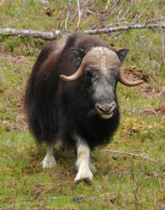 Muskox at Myskoxcentrum. Photo by D Jørgensen.